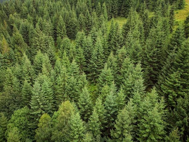 Texture di abeti verdi vista aerea