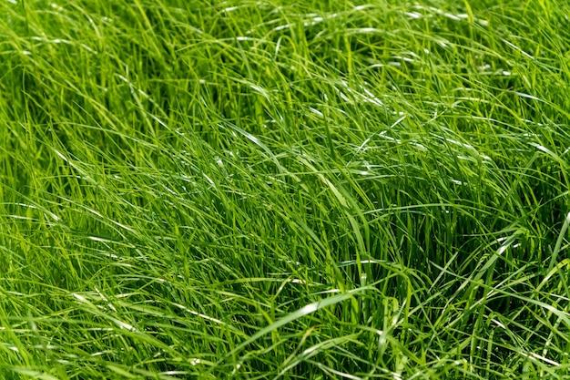 La trama della superficie dell'erba verde per lo sfondo, motivo del prato del campo in erba strutturato.