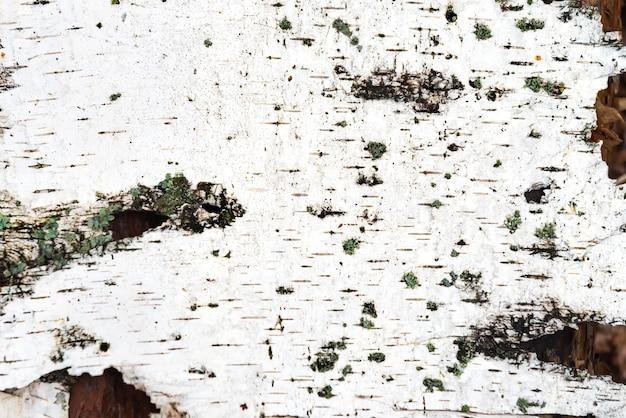 La trama della corteccia di betulla bianca può essere utilizzata per lo sfondo
