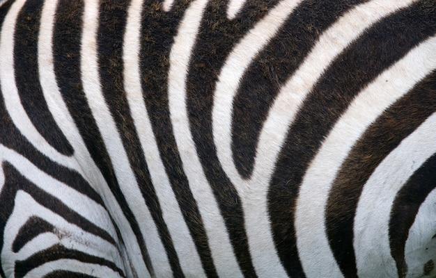 Texture di sfondo pelle di zebra