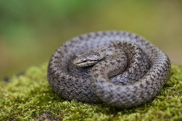 Serpente di dadi strutturato che si crogiola sul terreno verde con sfondo sfocato