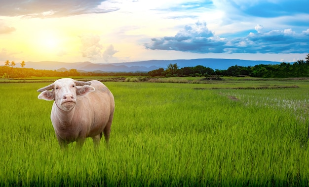 Il bufalo albino tailandese sta sulle piantine di riso verde in una risaia con un bel cielo e nuvole