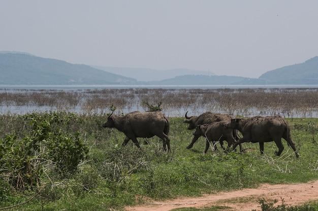Bufali tailandesi nei campi verdi, animali nella campagna thailandese Foto Premium