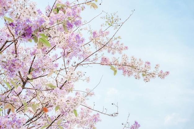 Bungor tailandese (lagerstroemia loudonii teijsm) i bellissimi fiori sono bianchi e viola in thailandia. popolare da piantare lungo la strada come la provincia di nakhon sawan.