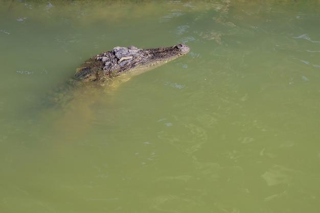 Lo spettacolo di coccodrilli thailandesi si affaccia sul fiume