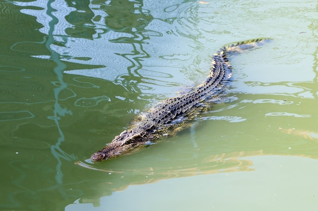 Il coccodrillo tailandese che nuota sul fiume