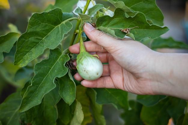 Melanzane tailandesi sull'albero in giardino, toccare la melanzana verde a mano.