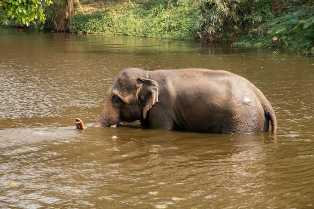 Elefante tailandese che cammina nel fiume.