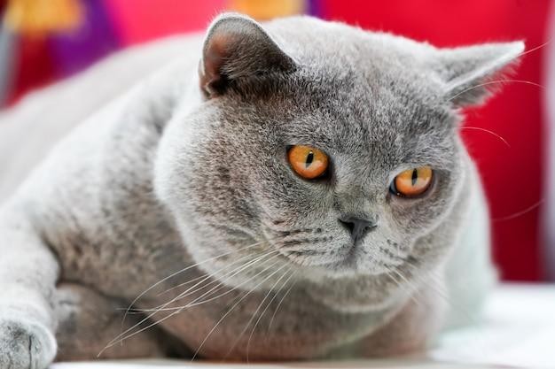 Il gatto thai korat con gli occhi gialli di pelliccia grigia. è il vincitore del torneo bellissimo concorso di gatti.