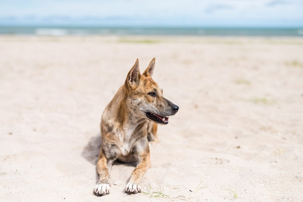Thai cane randagio sedersi sulla sabbia in riva al mare in estate alla spiaggia di cha-am, petchburi, thailandia. ritratto di relax animale da compagnia.
