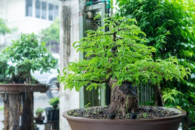 Il bonsai di tamarindo thailandese è molto antico ed è popolare tra i collezionisti.