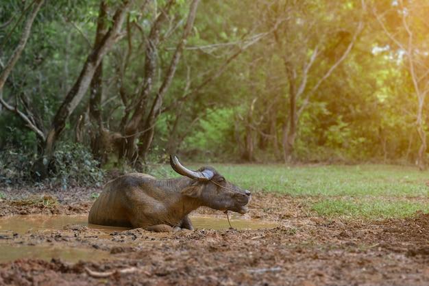 Bufalo della tailandia nel raggruppamento del fango