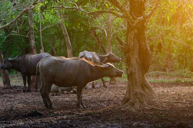 Bufalo della tailandia