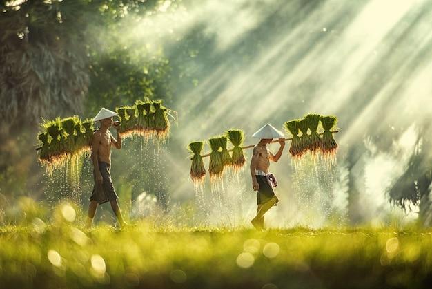 Gli agricoltori tailandesi piantano e coltivano riso nella stagione delle piogge