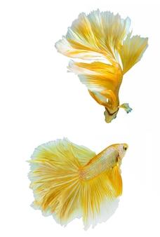 Thailandia pesce combattente in colore oro su isolare lo sfondo