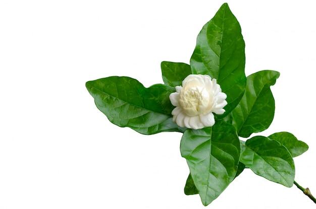 Fiore del gelsomino della tailandia con le sue foglie su bianco.