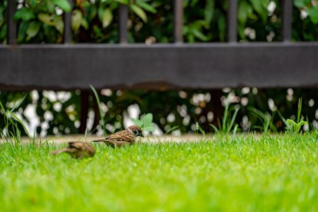Thailandia uccellino passero marrone nel giardino e nel parco.