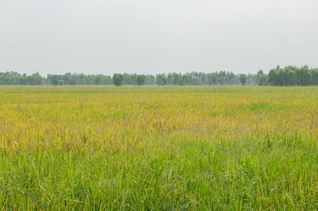 Thailandia tradizionale coltivazione del riso. paesaggio di coltivazione del riso in autunno. campo di riso e il cielo. semi di riso tailandese in un orecchio di risaia. bellissimo campo di riso e spiga di riso mattina sole contro nuvole e cielo.