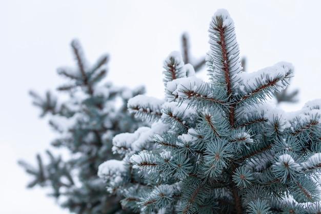 Spessi e belli soffici rami di un albero di natale fuori in fiocchi di neve