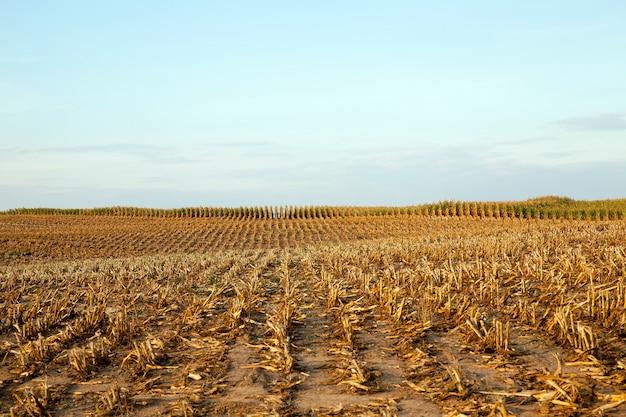 Il mais spesso falciato produce stoppie dopo il raccolto