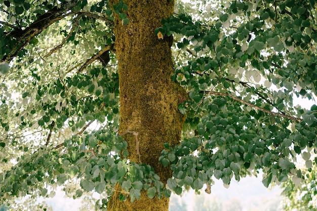 Il grosso tronco di un grande albero con rami e foglie soffici.