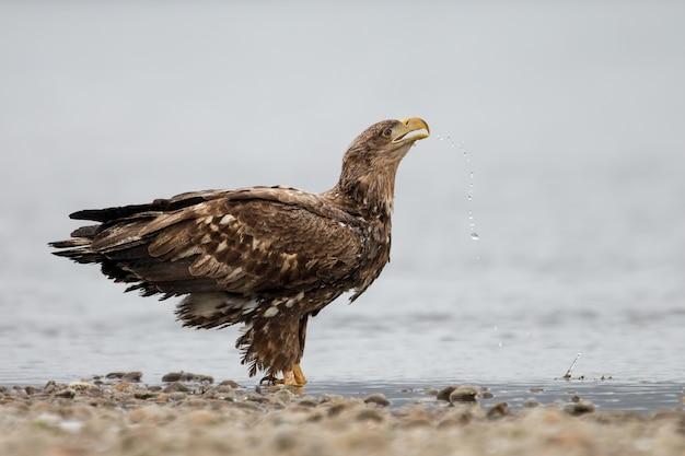 Aquila dalla coda bianca assetata in piedi nel fiume in primavera e bere