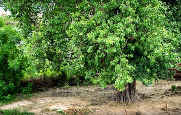 Questo è un grande albero peepal. l'albero di peepal fornisce ossigeno 24 ore. anche peepal è adorato