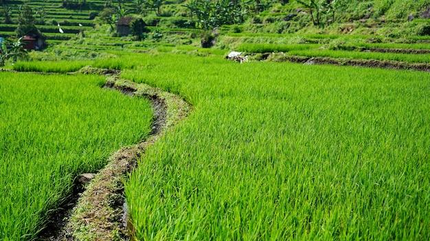 Questa è l'iconica terrazza di riso di tegalalang