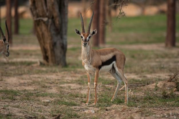 Thomson gazelle bella posa per una fotografia