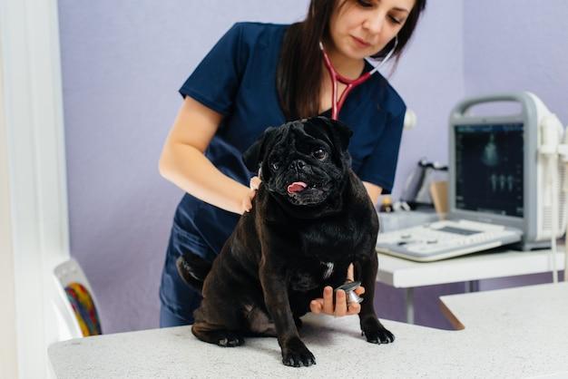 Un cane nero purosangue della razza bassotto viene esaminato e curato in una clinica veterinaria. medicina veterinaria.