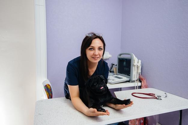 Un cane nero purosangue della razza bassotto viene esaminato e trattato in una clinica veterinaria. medicina veterinaria. Foto Premium