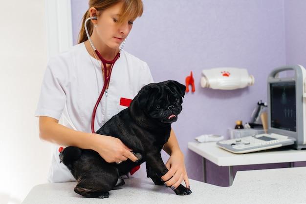 Un cane nero purosangue della razza bassotto viene esaminato e trattato in una clinica veterinaria.