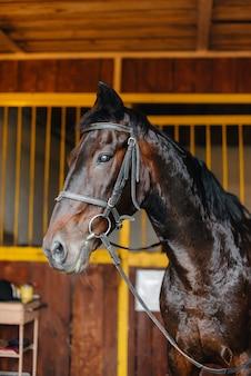 Primo piano dello stallone purosangue nella stalla del ranch. zootecnia e allevamento di cavalli purosangue.