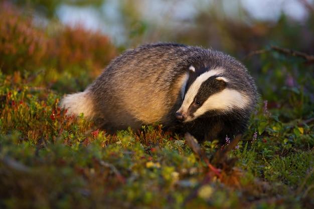 Tasso europeo premuroso che cerca alimento in brughiera ad alba di estate.