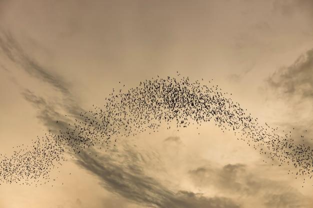 Mille centinaia di pipistrelli nel cielo della sera,