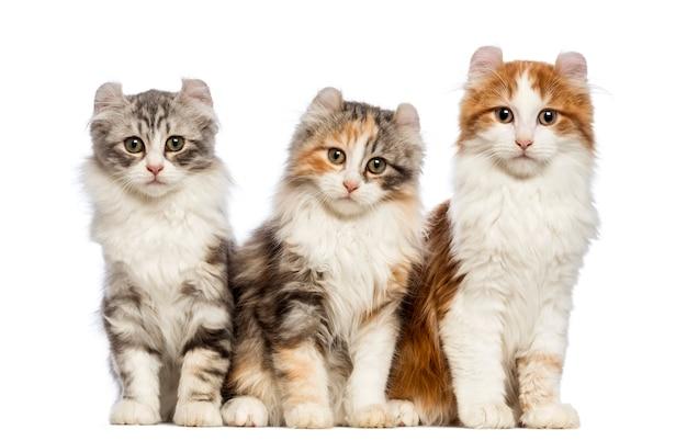 Tre gattini american curl (3 mesi) seduti e guardando