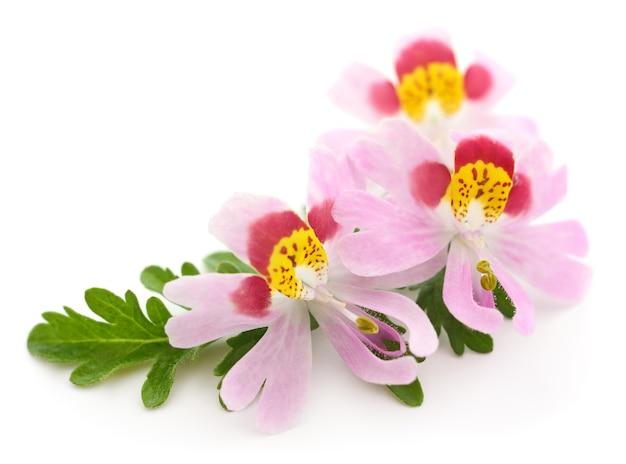 Tre bellissimi fiori bianchi e rosa, isolati su bianco.