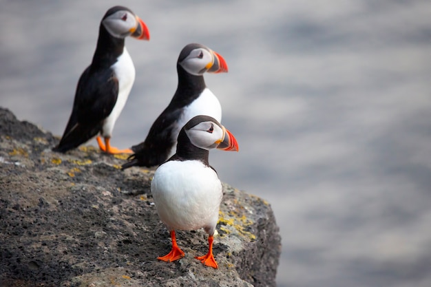 Tre pulcinelle di mare che si siedono su una scogliera dell'islanda