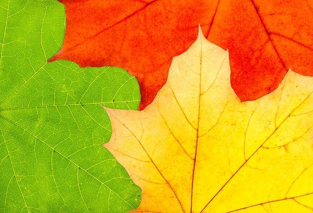 Tre foglie di acero autunno colorato sfondo - verde, rosso e giallo