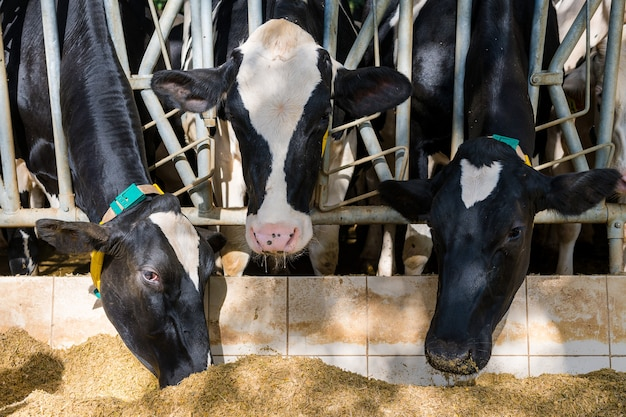 Tre mucche che mangiano fieno nella stalla sul caseificio