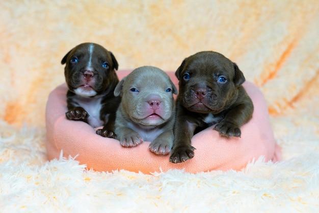 Tre cani chiudono i simpatici cuccioli di bullo americano bianco in una cartolina da cesto