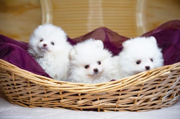 Tre cani si chiudono su simpatici cuccioli di spitz bianco di pomerania in una cartolina di cesto
