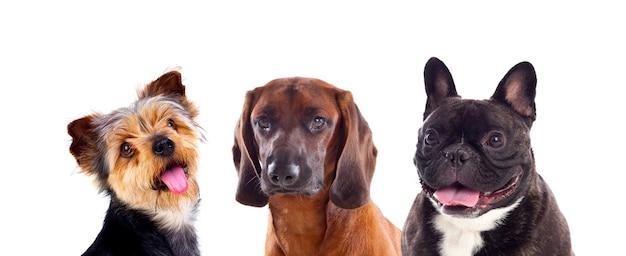 Tre cani isolati su uno sfondo bianco