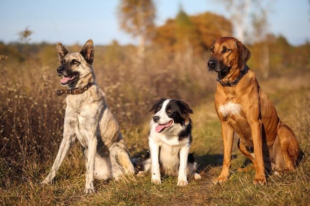 Tre cani rhodesian ridgeback, border collie e hollandse herder siedono in un campo autunnale
