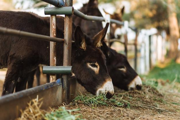 Tre asini dietro il recinto. asini in campagna. concetto di fattoria. concetto di animali. sfondo di pascolo. asini carini che guardano l'obbiettivo. paesaggio rurale a cipro