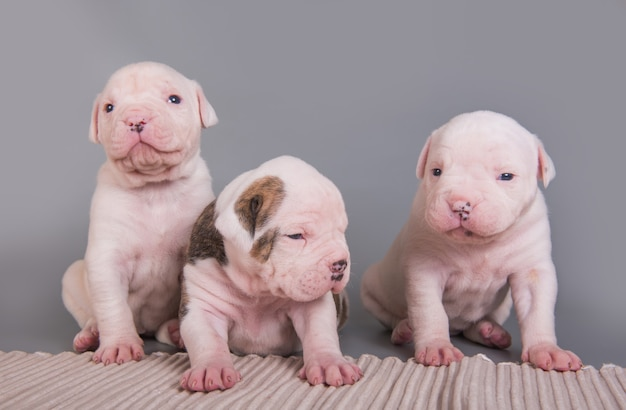 Tre divertenti cuccioli di bulldog americano cani su grigio