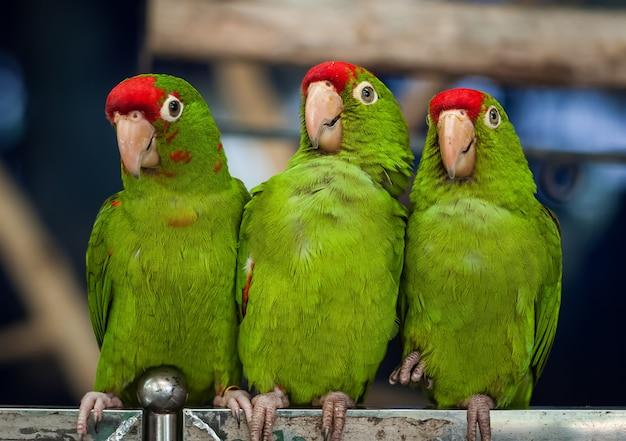 Tre uccelli pappagallo verdi