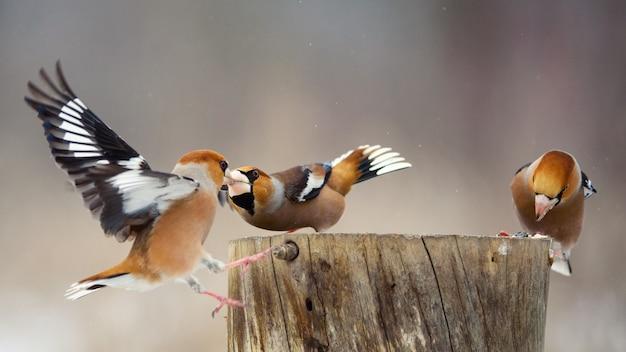 Tre hawfinch coccothraustes coccothraustes sulla mangiatoia per uccelli invernali