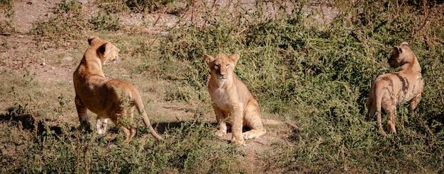Tre cuccioli di leone. uno si siede e guarda la telecamera. gli altri due stanno ai lati, schierati da dietro.
