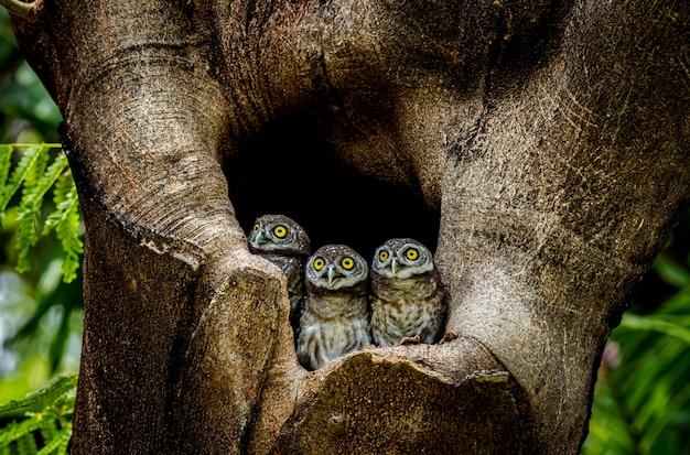Tre piccoli gufi dentro il buco di un albero in una foresta